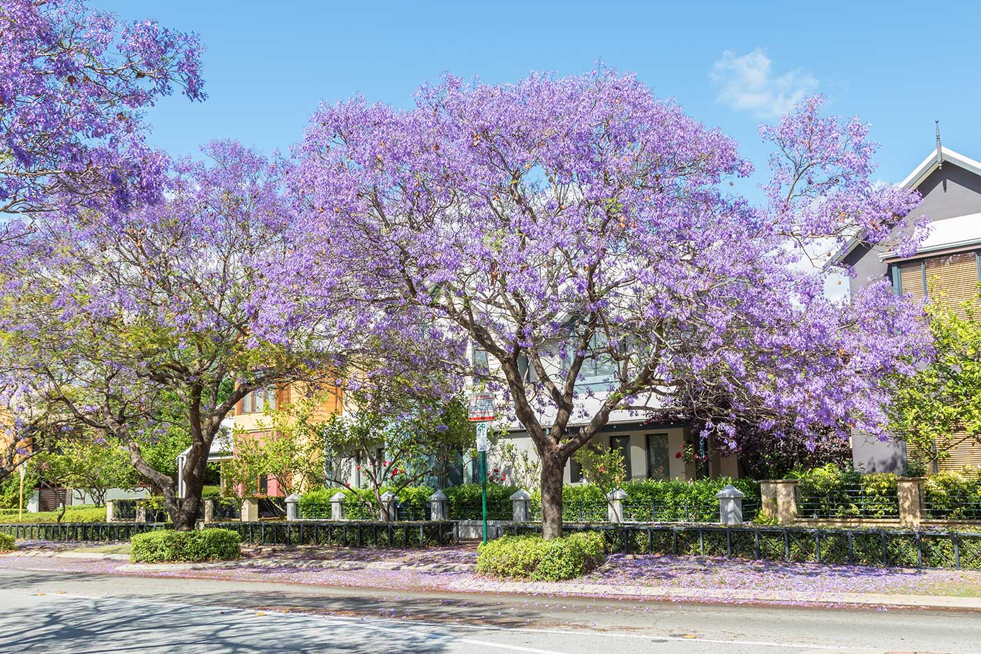 Jacaranda trees blooming in front of townhouses in the suburb of Subiaco in Perth, Western Australia.